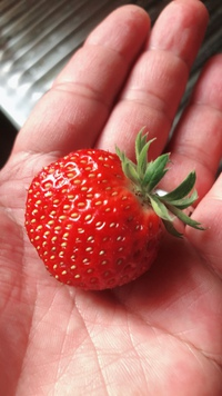 日本イシガメ 屋外飼育 家庭菜園イチゴ