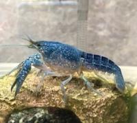 コバルトクラーキー フロリダハマー 青いザリガニ