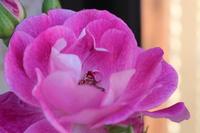 薔薇 ブリリアントピンクアイスバーグ ロザリアン
