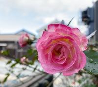 もう薔薇が咲き出し梅も開花