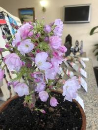 宝石リフォーム ジュエリーリフォーム ジュエリーラマーノ 桜盆栽