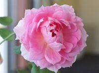 薔薇が咲きだしましたが名前なんでしょう?