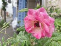 ピンクアイスバーグが咲き出しました