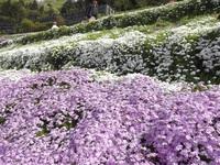ゆめさき苺とヤマサ蒲鉾芝桜