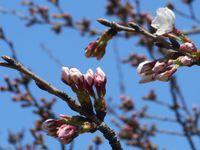 春ですねー。