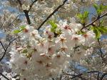春。桜。雨のち晴れ