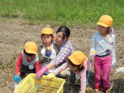 神戸市西区まきばジャガイモ堀り体験