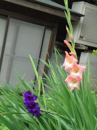 神戸市西区まきばオープンガーデン グラジオラス