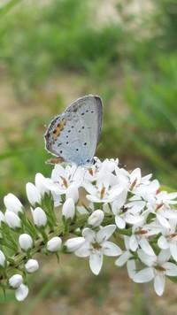 オカトラノオと蝶