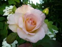 ちょいピンクの薔薇