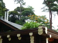 屋根の上のヤブカンゾウ