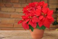 「ポインセチアはクリスマス代表する植物。」