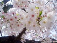 「桜の花言葉をご存知でしょうか!」