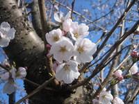 桜ちらり 市川右岸だよ~♪