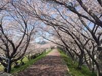 もうすぐに桜も咲く季節に…桜のトンネル楽しみですね