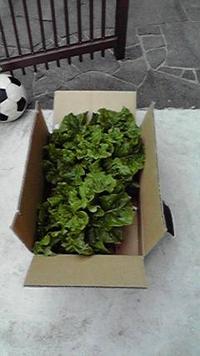 レタス収穫