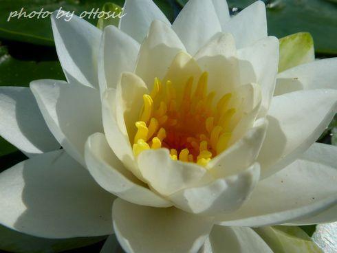 幸竹池の睡蓮