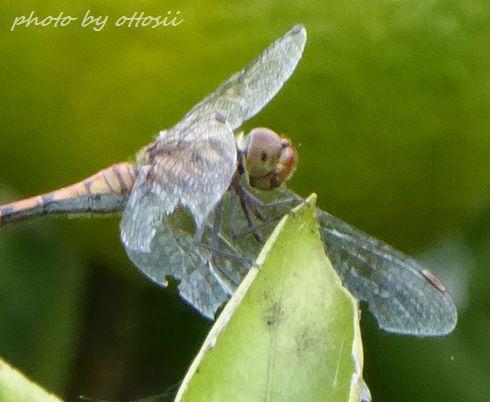 蜜柑と蜻蛉