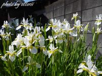 庭のアヤメ(白)が満開です