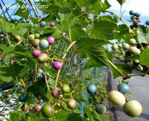 野葡萄と鈴蜂