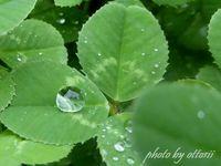 白詰草と雨