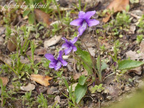 菫の花咲くころ
