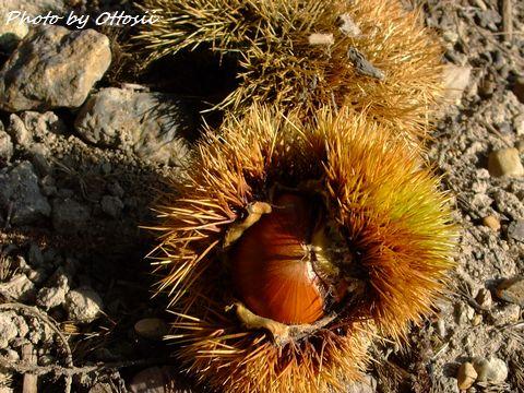 食欲の秋 栗の実