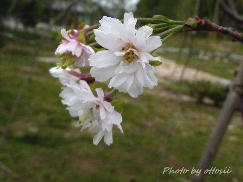 桜・狂い咲き