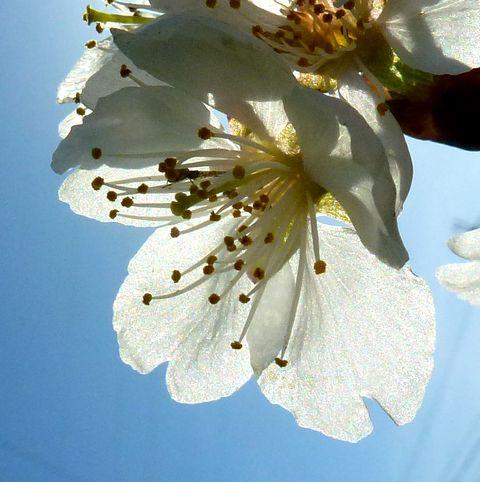 東京でサクラ開花
