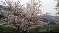 桜の咲く風景 2017.4