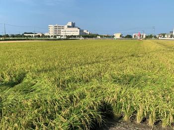 令和2年産新米、収穫最盛期!  2020/08/30 滋賀県長浜市 農工舎 落庄商店