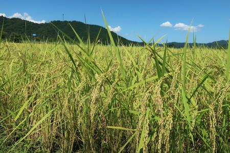 猛暑の中、令和2年産新米、まもなく収穫!  2020/08/29 兵庫県豊岡市 西垣農園
