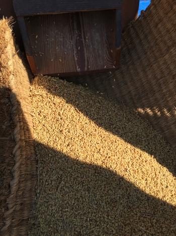 別府西米、昔の農機具を使って、脱穀!