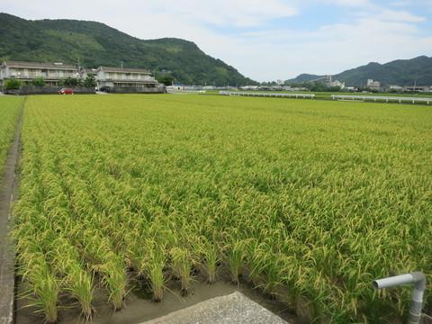 高知のお米、もうすぐ収穫です! 2014年7月12日高知県高知市