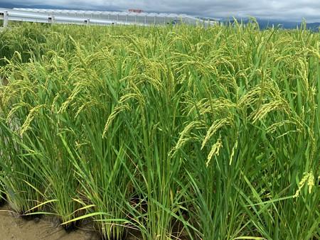 新米の収穫は、まだまだかな? 2019/07/15~16 高知県南国市、高知市