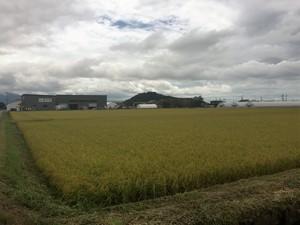 収穫最盛期、大忙し! 2016/08/27 滋賀県長浜市 農工舎