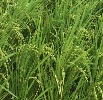 今月の頒布会のお米は、ハイブリッド米!