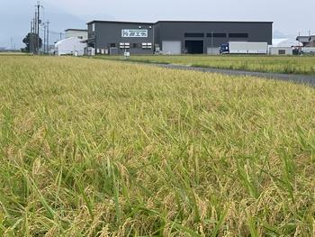 収穫作業はお天気次第・・・ 2019/09/01 滋賀県長浜市