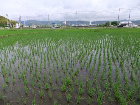 H23米、作付けスタート!~2011/05/22高知県南国市