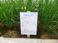 JA栗っこ産地視察(1)~2011/07/07宮城県栗原市~