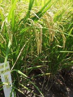 収穫最盛期・・・ ~2011/07/30-31高知県南国市~