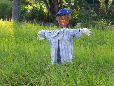 収穫間近の別府西ブランド米を守るため、案山子たて!