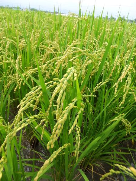 高知の新米、収穫間近!~2012/07/14 JA全農こうち