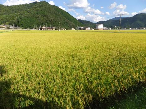 収穫間近! ~2012/08/25兵庫県豊岡市出石町~
