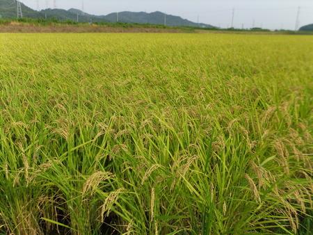 収穫開始のはずでしたが・・~2012/09/04 市内志方町