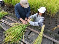 稲刈り! ~別府西4年生米作り~