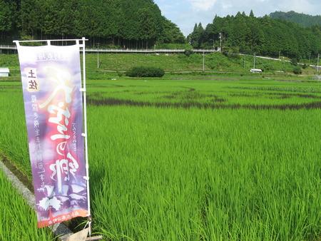 """""""田んぼアート""""順調に生育~2010/08/01高知県本山町"""