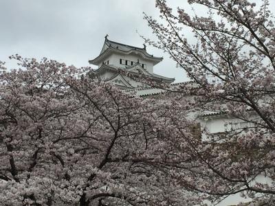 姫路城観桜会!