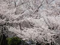 桜 満開!!!