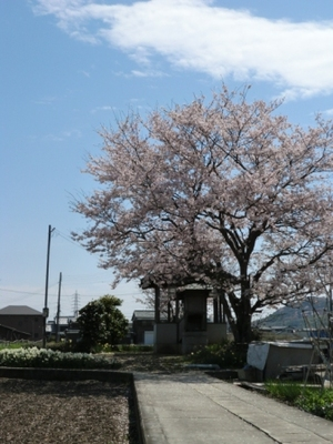 桜吹雪・・・